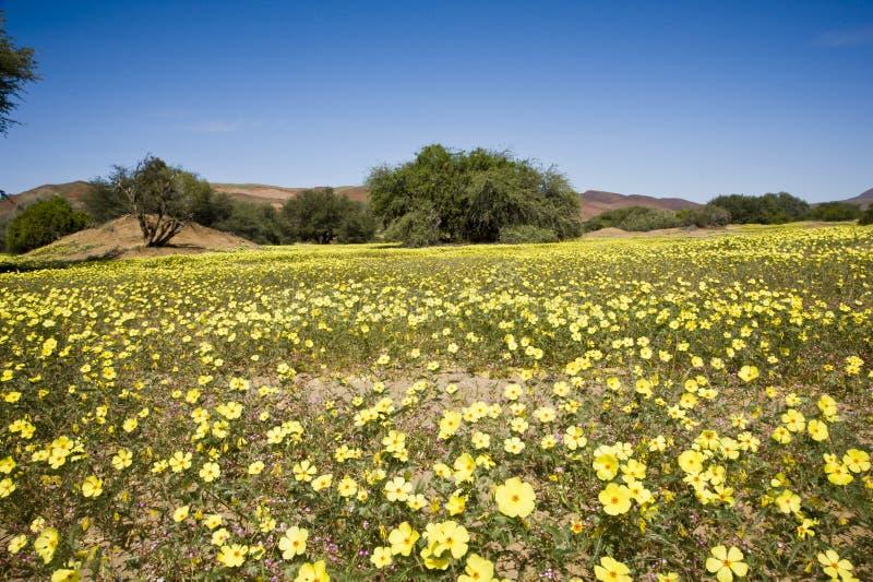 Deserto de florescência em Damaraland, Namíbia fotografia de stock
