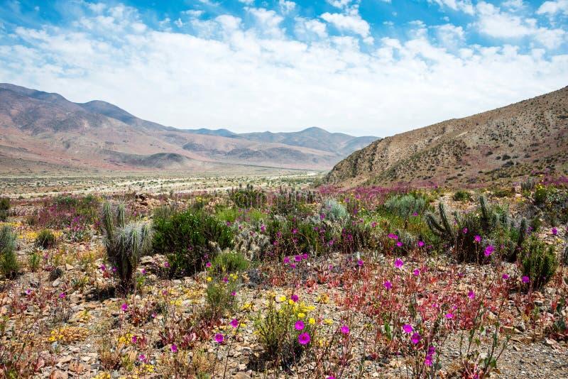 Deserto de florescência no deserto de Atacama chileno imagens de stock