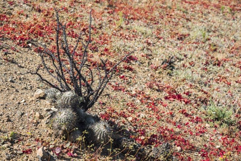 Deserto de florescência no deserto de Atacama chileno imagem de stock