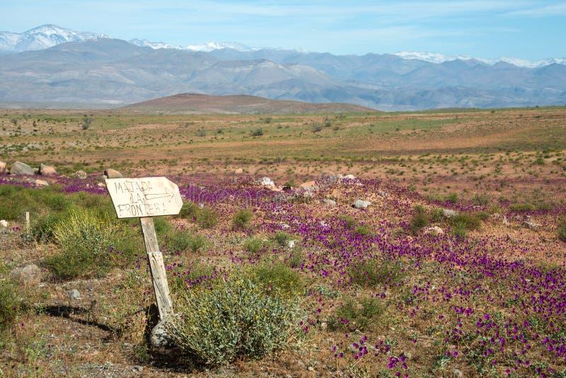Deserto de florescência no deserto de Atacama chileno foto de stock royalty free