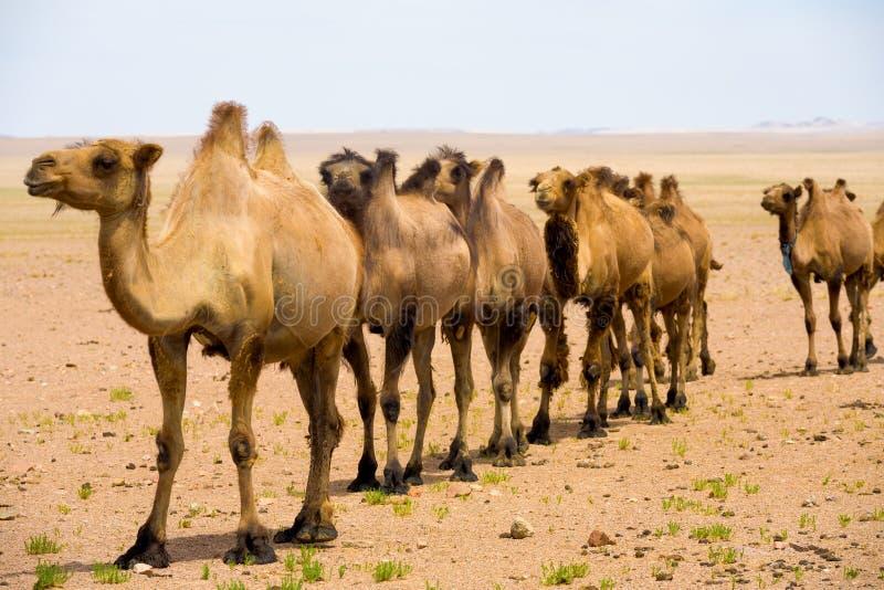 Deserto de Gobi dos camelos da corcunda de Bactriano dois do único arquivo fotos de stock