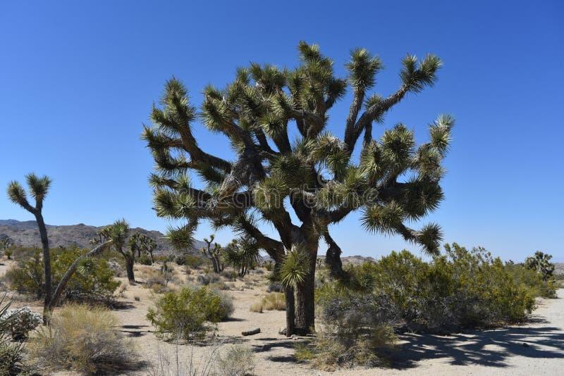 Deserto del Mojave di California con Joshua Trees Growing fotografia stock libera da diritti