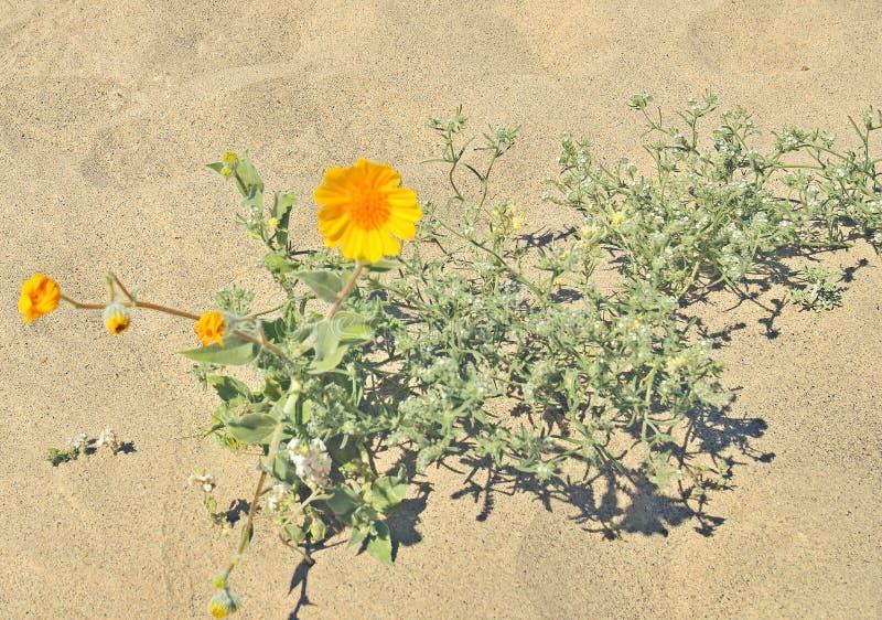 Deserto di Anza-Borrego: Fioritura eccellente immagini stock
