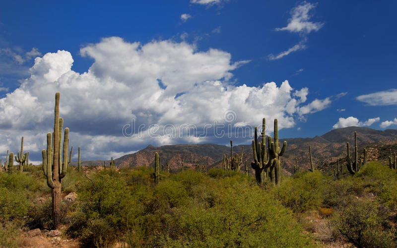 Deserto di saquaro dell'Arizona fotografie stock