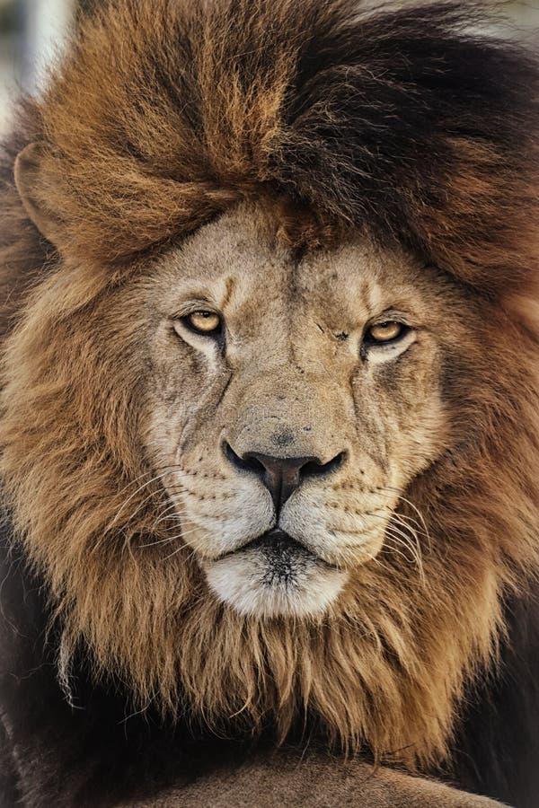 Deserto do leão do detalhe do retrato com uma grande juba foto de stock