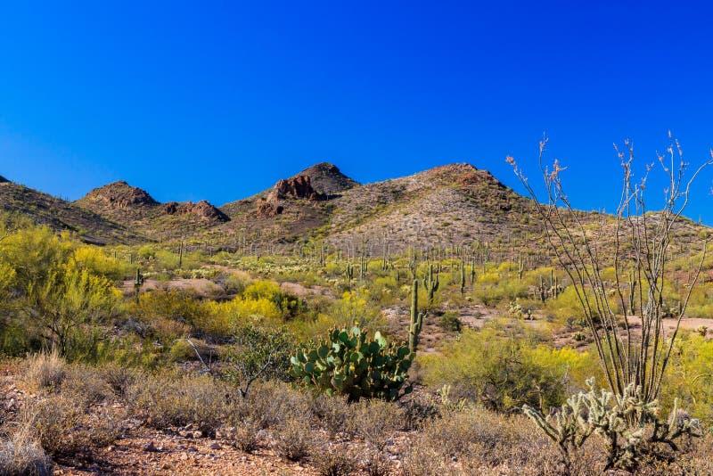 Deserto do ` s Sonoran do Arizona da paisagem da mola Saguaro, ocotillo, pera espinhosa, cactos do cholla e buhes do creosoto fotografia de stock