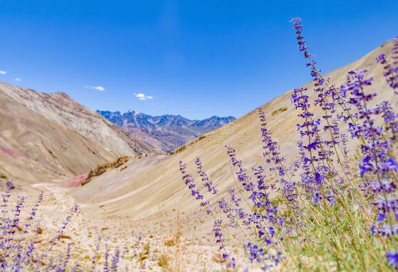 Deserto do vale da montanha da garganta da flor da alfazema do sábio roxo fotografia de stock