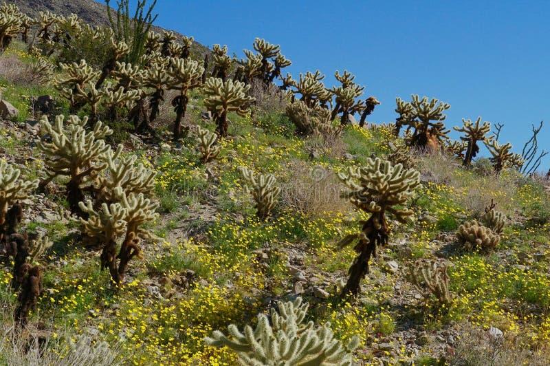 Deserto Hillside di Cholla e dei Wildflowers fotografie stock
