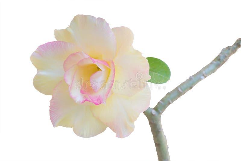 Deserto Rosa fotos de stock royalty free