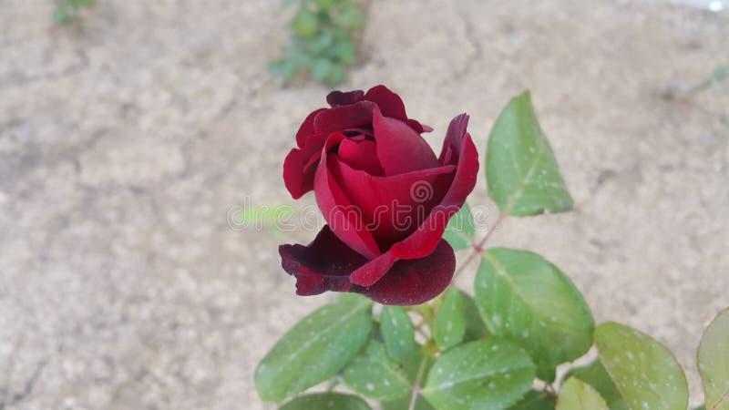 Deserto Rosa foto de stock royalty free
