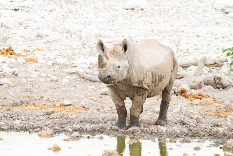 Desertos e natureza africanos do rinoceronte do mamífero em parques nacionais fotografia de stock