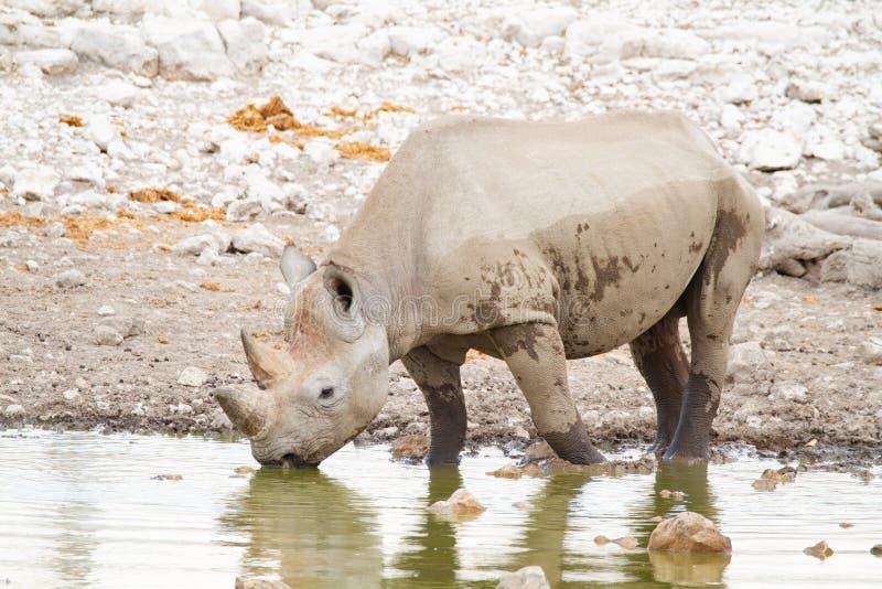 Desertos e natureza africanos do rinoceronte do mamífero em parques nacionais imagens de stock royalty free