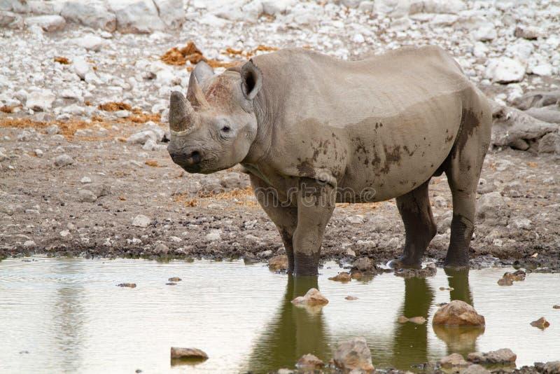 Desertos e natureza africanos do rinoceronte do mamífero em parques nacionais foto de stock