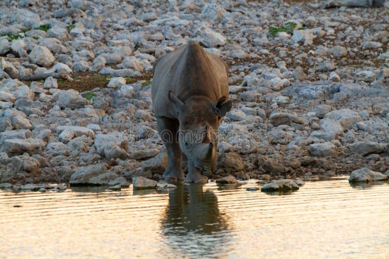 Desertos e natureza africanos do rinoceronte do mamífero em parques nacionais fotos de stock