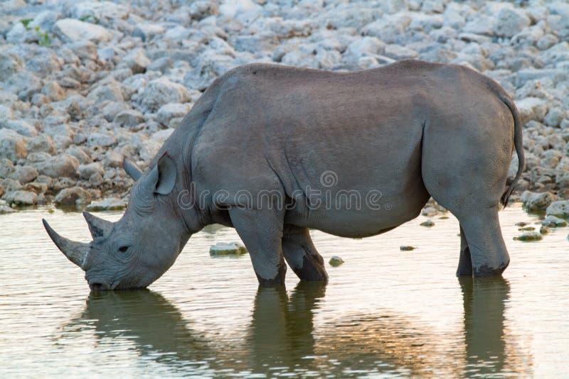 Desertos e natureza africanos do rinoceronte do mamífero em parques nacionais fotografia de stock royalty free