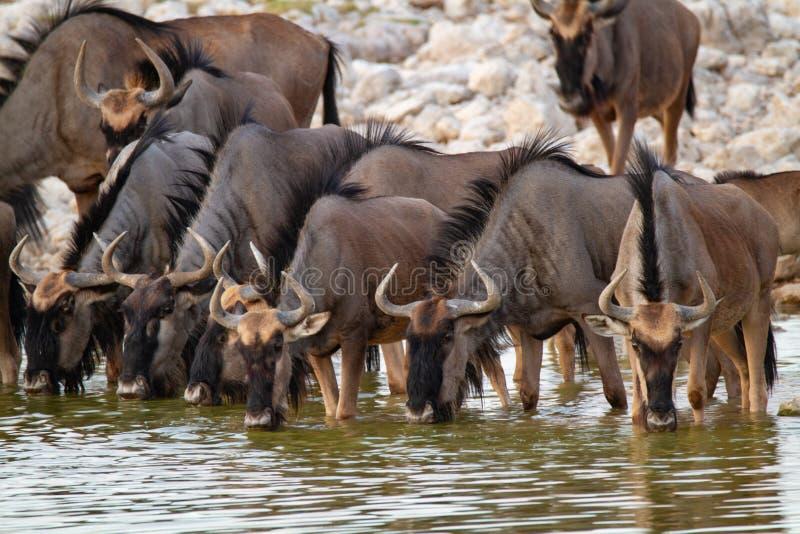 Desertos e natureza azuis de Namíbia do gnu em parques nacionais imagem de stock