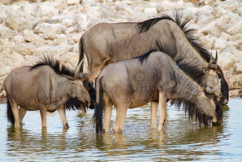 Desertos e natureza azuis de Namíbia do gnu em parques nacionais imagens de stock royalty free