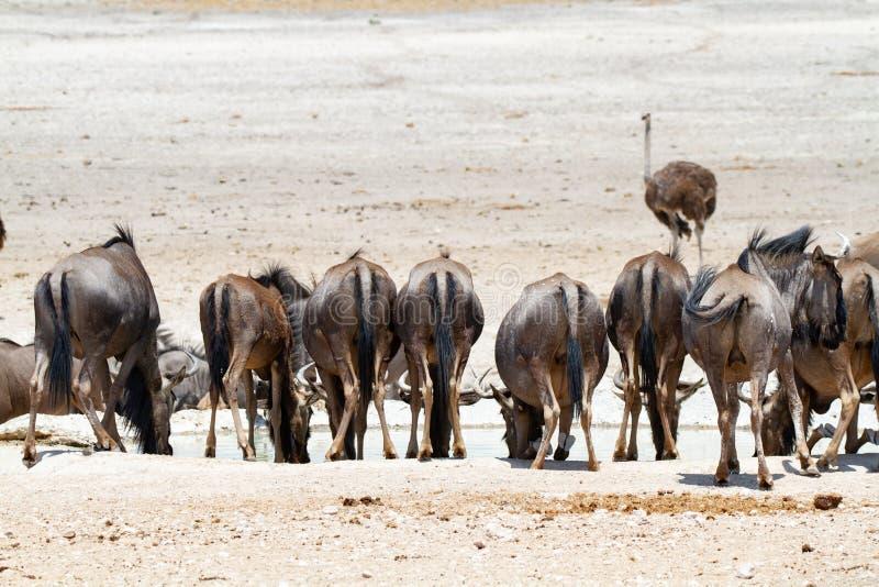 Desertos e natureza azuis de Namíbia do gnu em parques nacionais imagens de stock