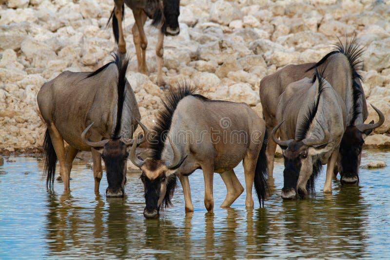Desertos e natureza azuis de Namíbia do gnu em parques nacionais fotos de stock royalty free