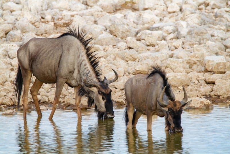 Desertos e natureza azuis de Namíbia do gnu em parques nacionais foto de stock royalty free