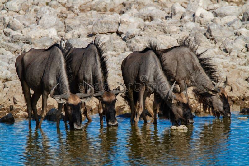 Desertos e natureza azuis de Namíbia do gnu em parques nacionais imagem de stock royalty free