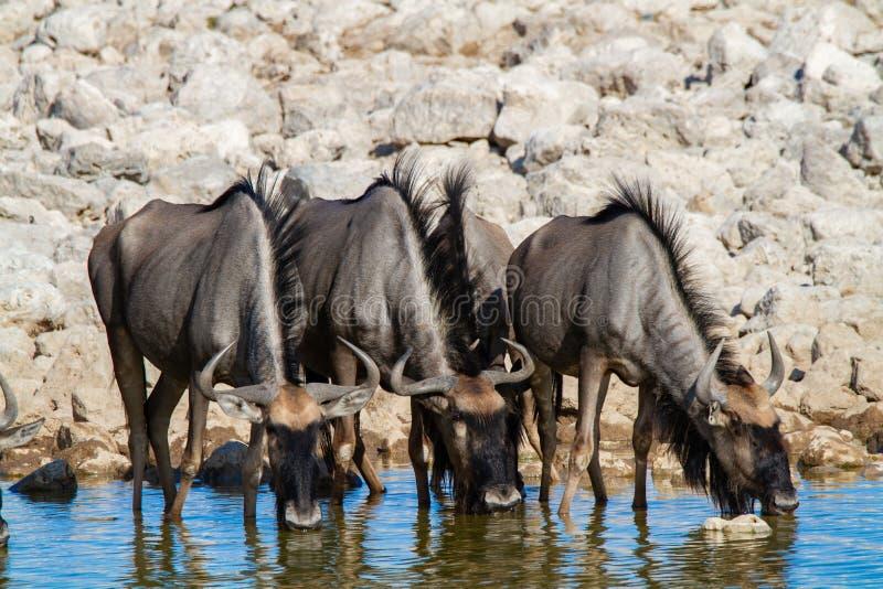 Desertos e natureza azuis de Namíbia do gnu em parques nacionais fotografia de stock
