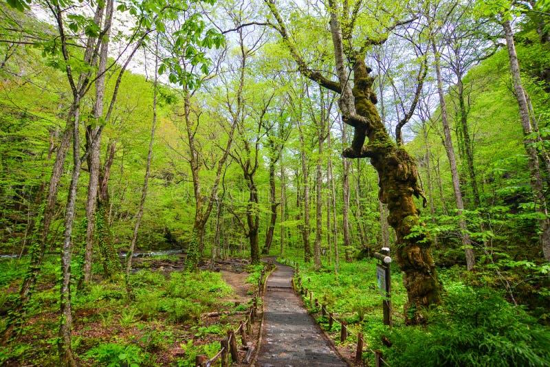 Desfiladeiro de Oirase em Aomori, Japão do norte fotografia de stock