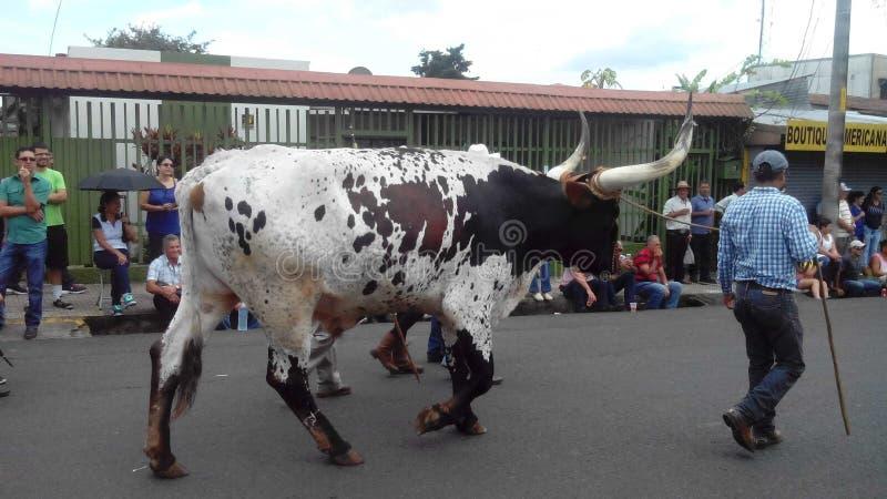 Desfile de bueyes photo stock