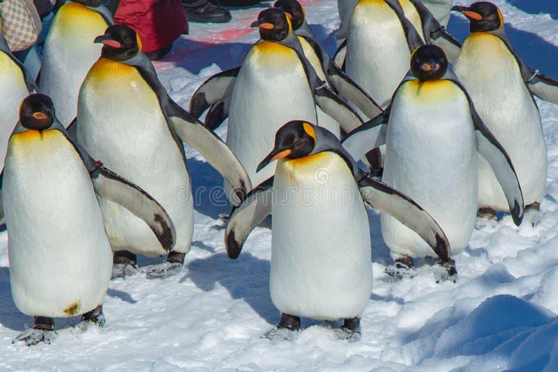 Desfile de los pingüinos por ejercicio que camina al aire libre fotos de archivo