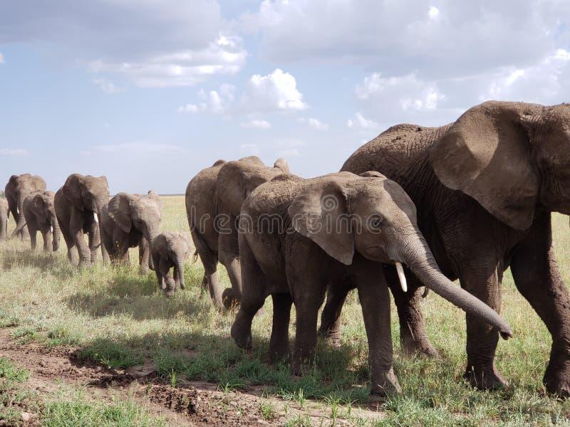Desfile del elefante, parque nacional de Serengeti, Tanzania imagen de archivo
