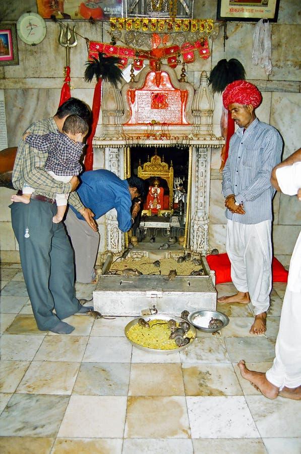 Tempio del ratto di Karni Mata Deshnoke, Bikaner India immagine stock