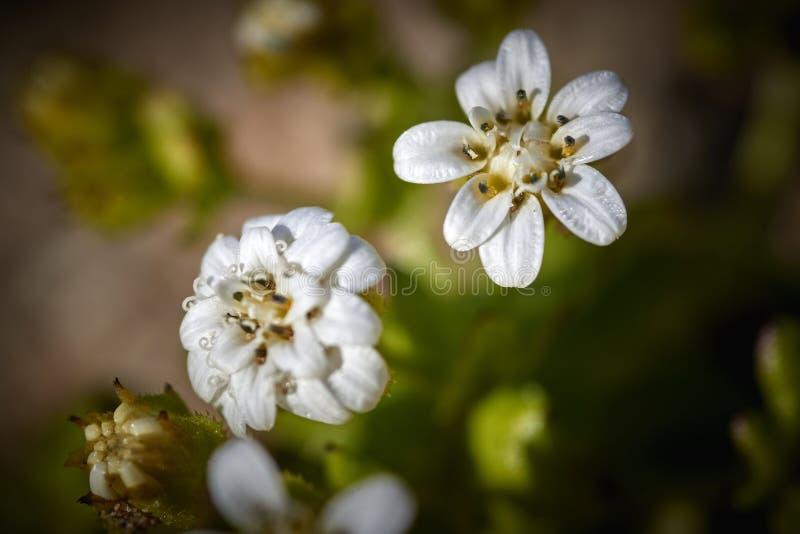 15-08-2017 desierto de Atacama, Chile Desierto floreciente 2017 imagenes de archivo