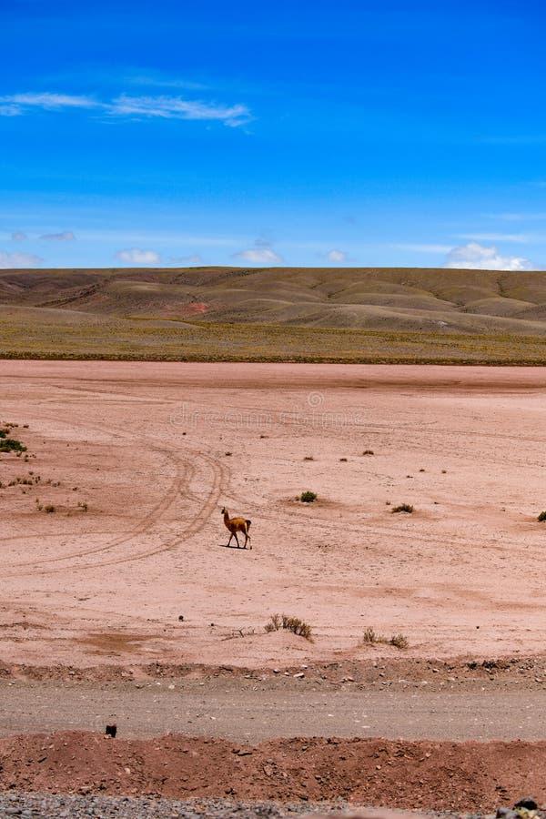 Desierto de Atacama en Chile Lama solo fotografía de archivo libre de regalías