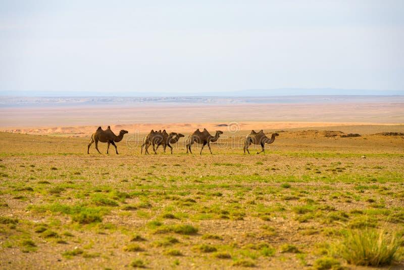 Desierto de Gobi doble de la fila de los camellos bactrianos de la chepa de la manada fotos de archivo libres de regalías
