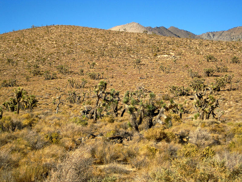 Desierto de la yuca en California fotos de archivo libres de regalías