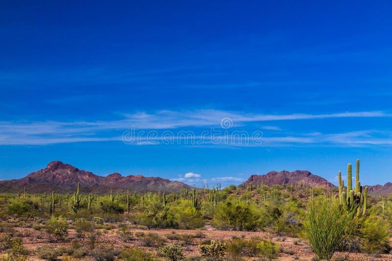 Desierto de Sonoran en Arizona Cactus del Saguaro y otras plantas nativas en primero plano; colinas rocosas, cielo azul y nubes w fotos de archivo libres de regalías