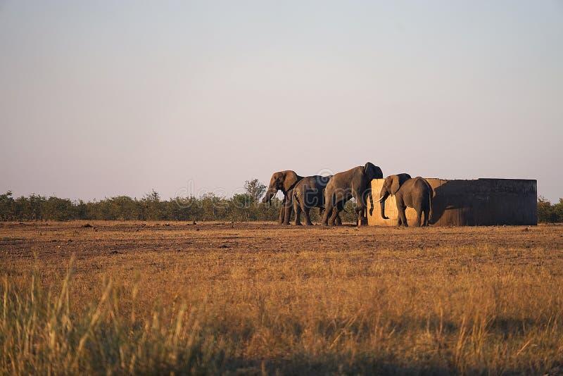 Desierto del parque nacional de Kruger del elefante africano en el Watertank foto de archivo
