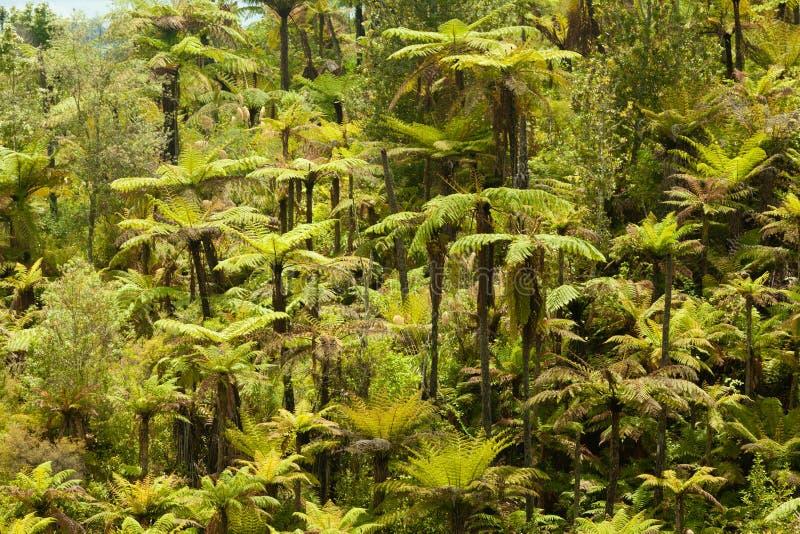 Desierto endémico del bosque del helecho de árbol de Nueva Zelanda fotos de archivo