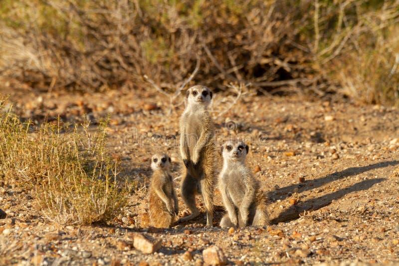 Desierto Namibia animal África de Suricate imagen de archivo libre de regalías