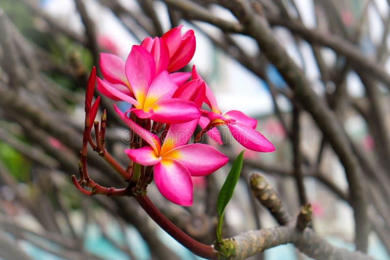 Desierto Rose, flor del lirio de impala imágenes de archivo libres de regalías