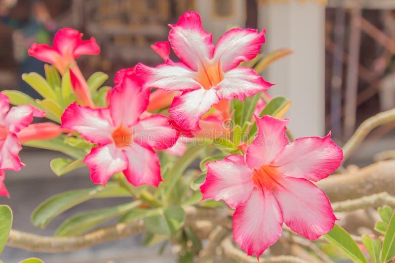 Desierto Rose Flowers foto de archivo libre de regalías