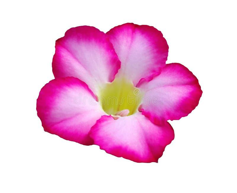 Desierto Rose rosado, lirio de impala o azalea de la mofa aislada en blanco fotos de archivo libres de regalías