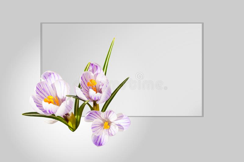 Design card. Collage of beautiful isolated white violet crocus flowers. Spring. stock photos