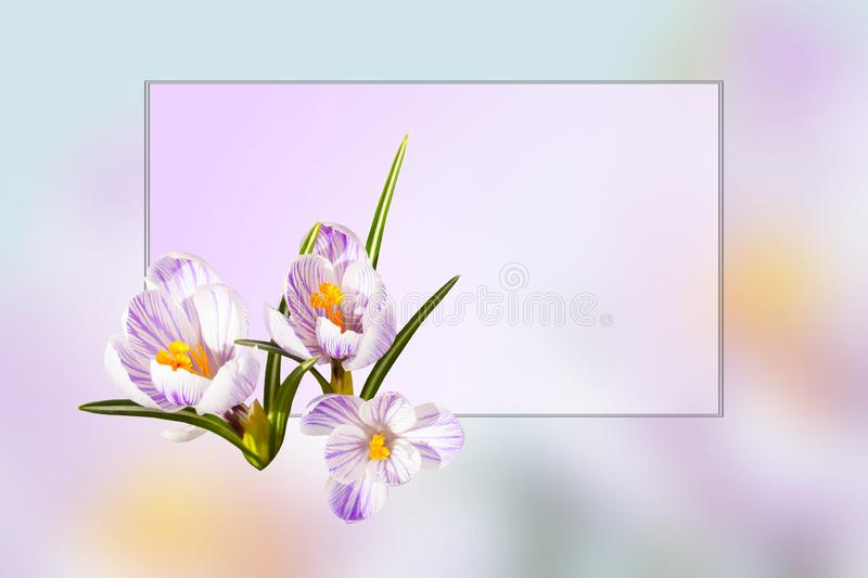 Design card. Collage of beautiful isolated white violet crocus flowers. Spring. stock image
