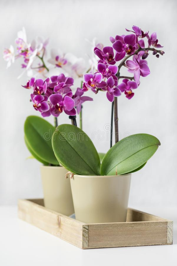Decorative violet and white orchids in green pots royalty free stock photography