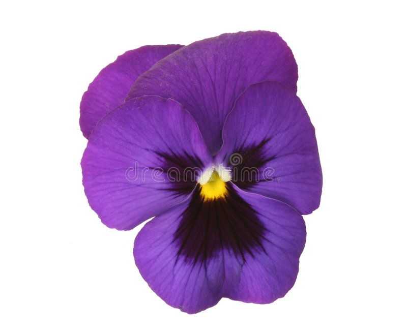 Design Elements: Blue Pansy stock photo