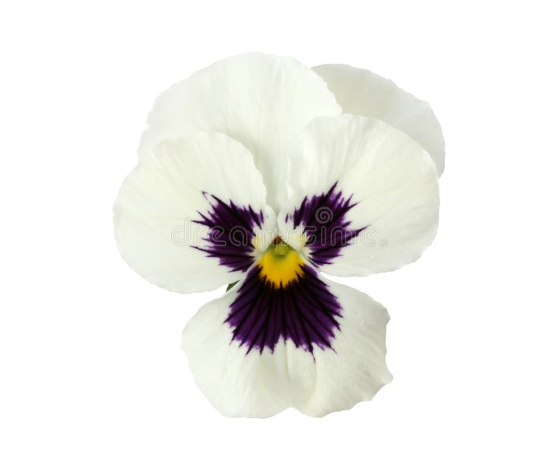 Design Elements: White Pansy stock images