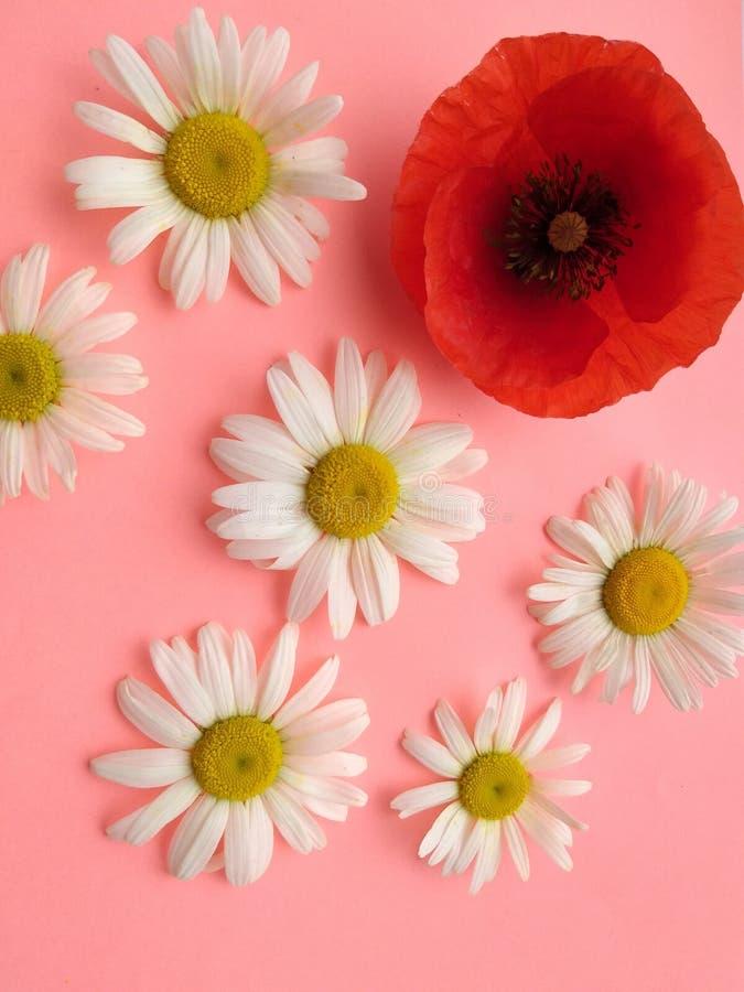 Design floral, verão da papoila da camomila das flores imagem de stock royalty free