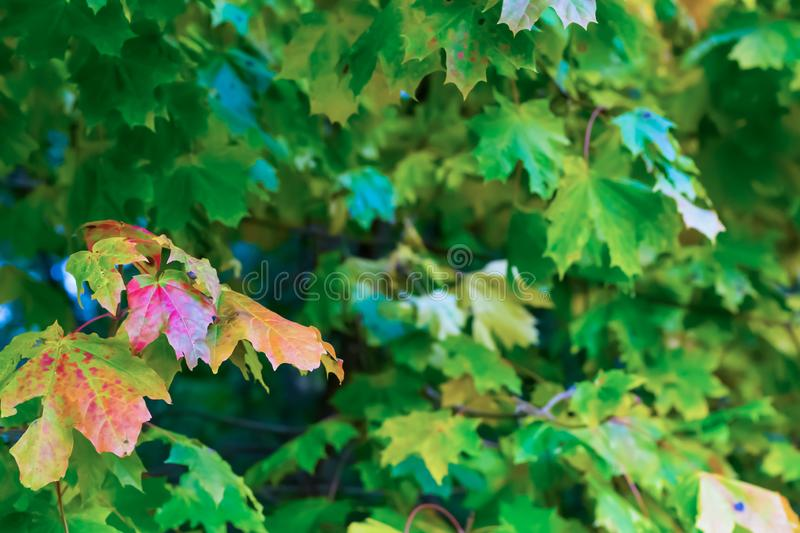 Design fresh vegetative maple leaves red yellow colorful on blurred green background eco postcard copy space stock photography
