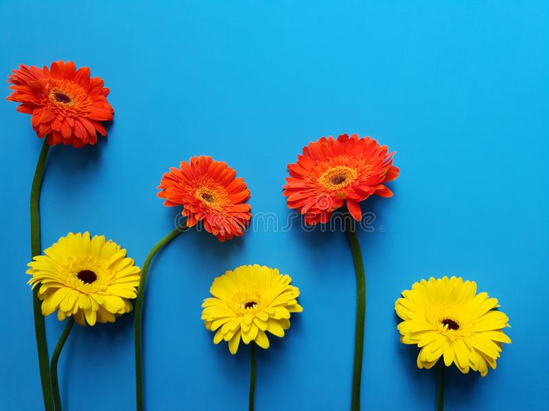 Design with orange and yellow gerbera flower on the blue background. Daisy, asteraceae, petal, decorative, delicious, decoration, ornament, backdrop, beautiful royalty free stock images